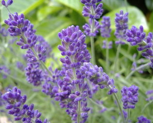 English Lavandula angustifolia