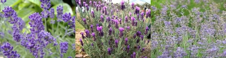 English, Spanish, Spike, Lavandula angustifolia, stoechas, latifolia
