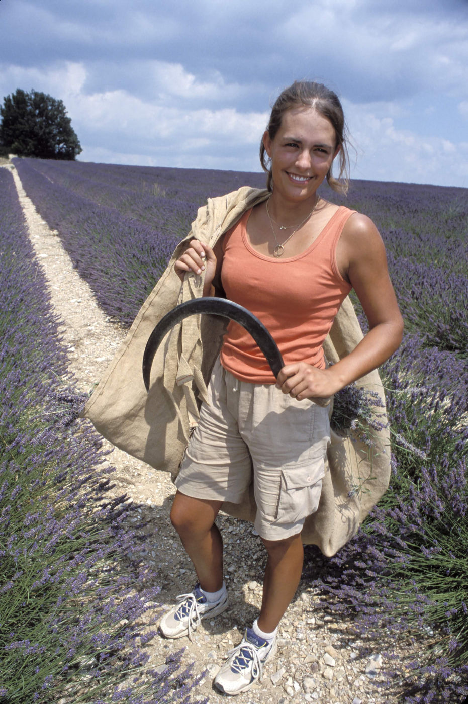Harvesting Lavender Flower By Hand