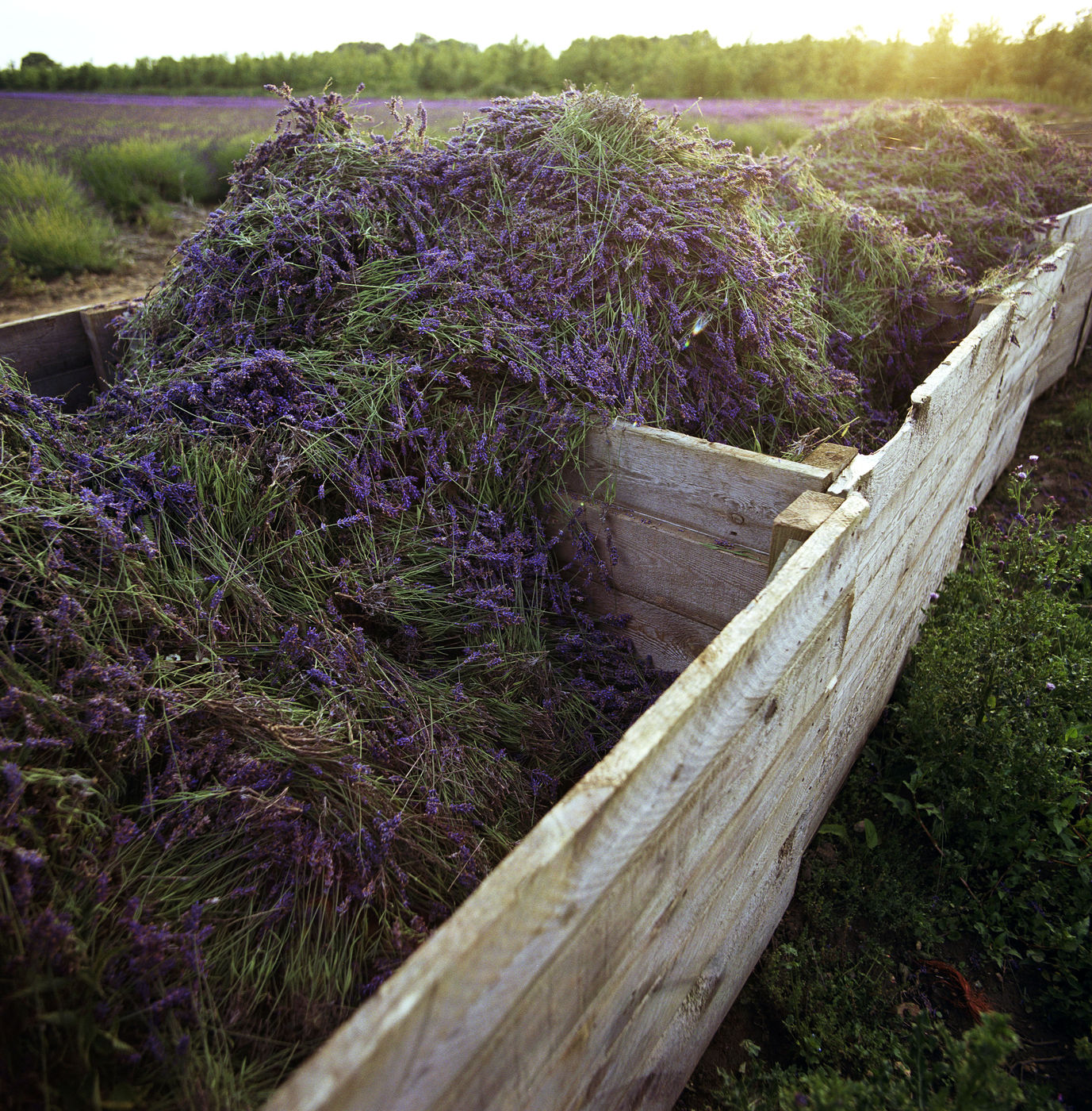 Harvested Lavender Flower Ready to Distill