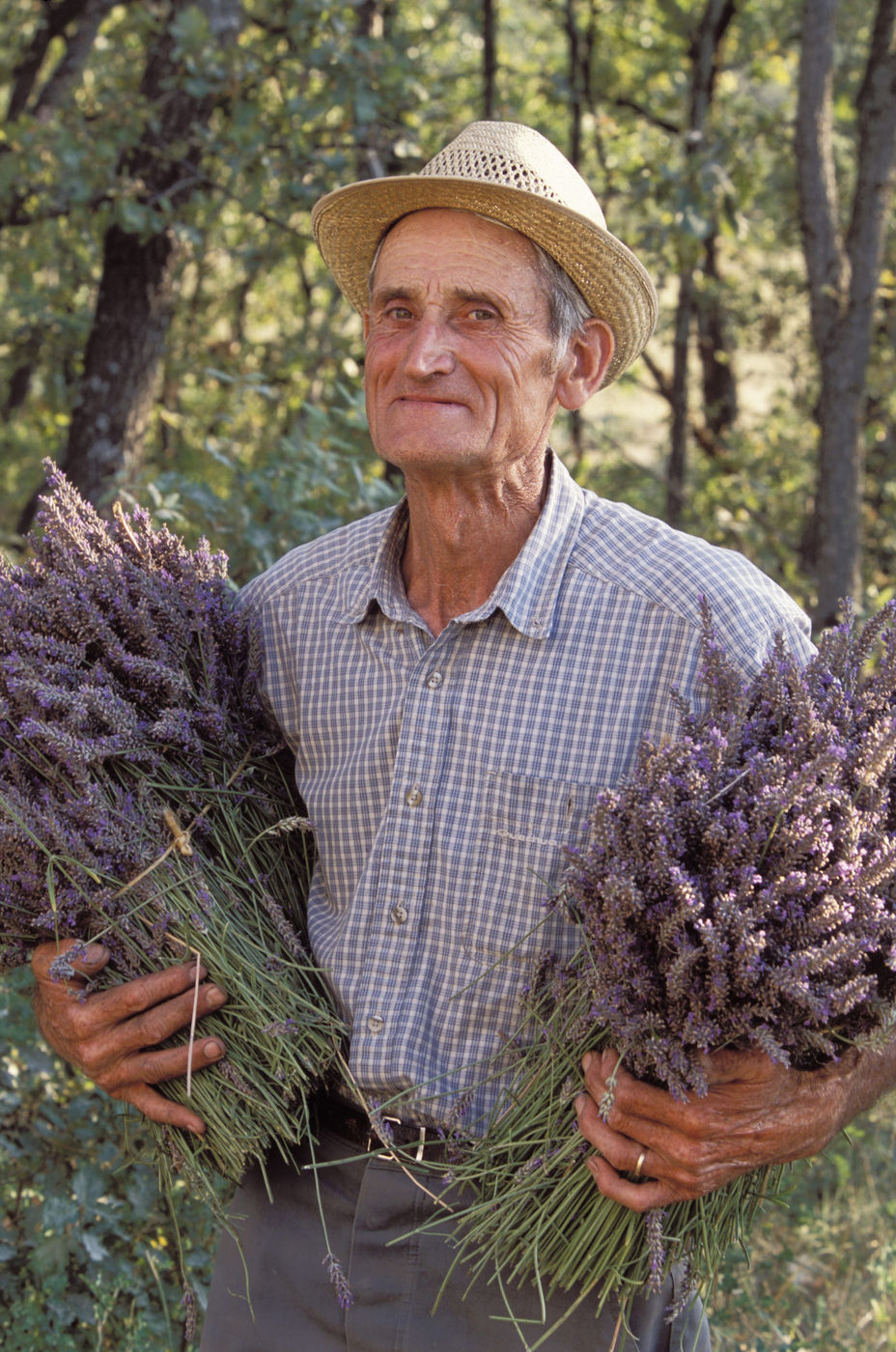 Harvested Lavender Flower Bunches