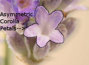 Lavender Flower showing asymmetric corolla