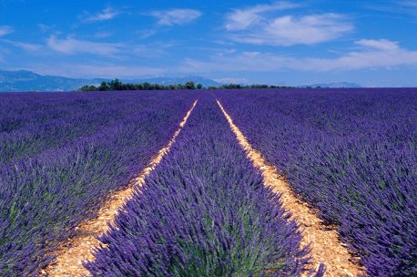 Lavender Flower for making Lavender Oil