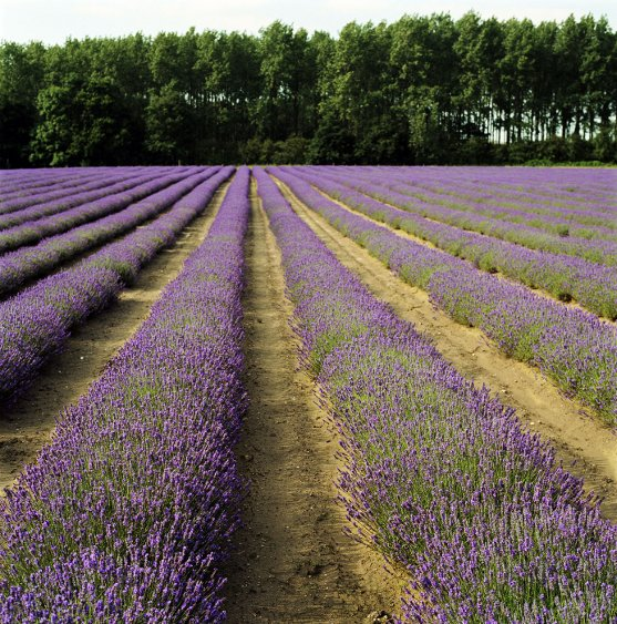 Field of Lavender blooming Lavender Farm