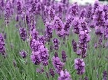 Buy Lavender Flowers