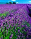 Lavender Flower Fields