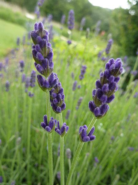 Lavender Hidcote Flower, Deep Purple Lavender
