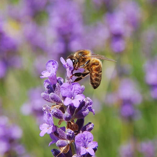 Lavender attracts beneficial insects