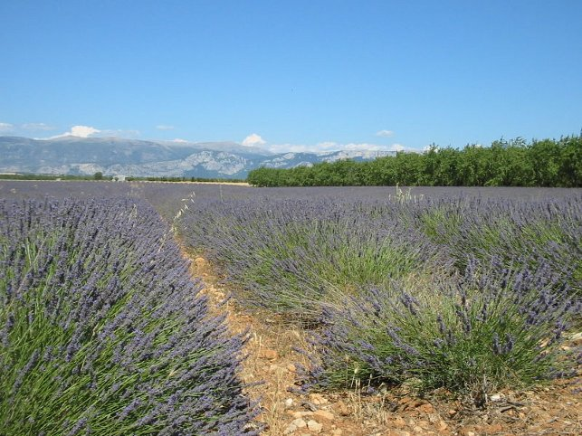 Picture Showing How Lavender Grows