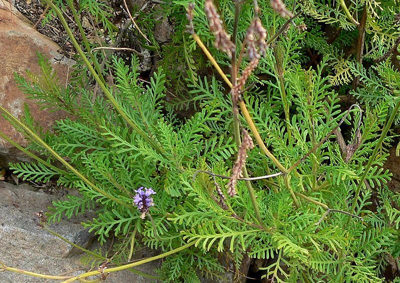 Lavandula Canariensis Leaves