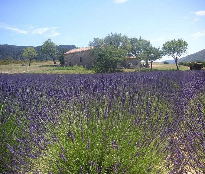 Lavandula Grosso Lavender Plants in Flower