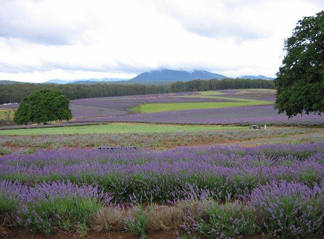 Tasmanian Lavender Farm
