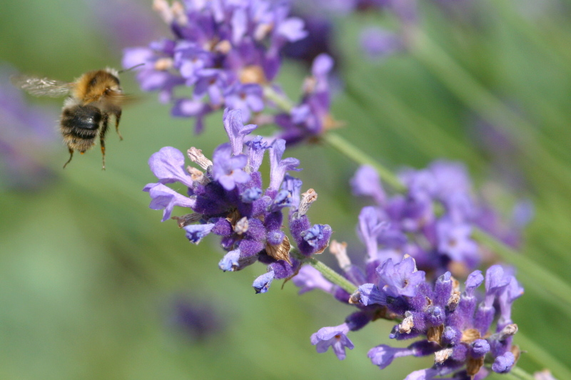 Image of flying insect on lavender