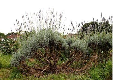 Woody Lavender Plant