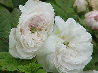 Image of blooming damask rose in flower garden