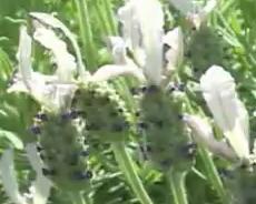 Lavender stoechas Ballerina Flower