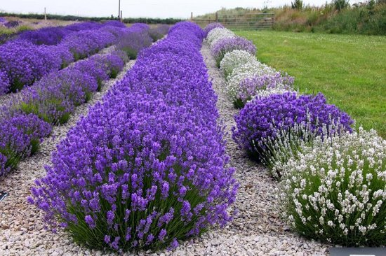Picture of different colors of Lavender Flowers