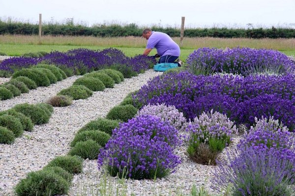Man Harvesting Lavender Flower By Hand