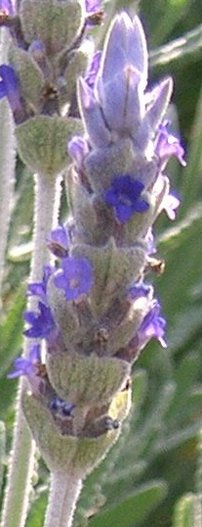 French Lavender Flower - Lavender dentata closeup