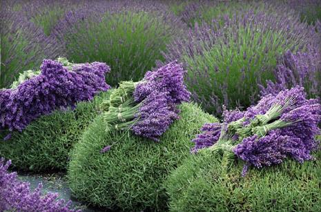 Image of Lavender Flower Harvest