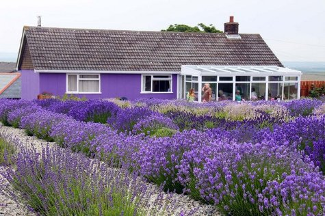 Lavender Garden Design hedgerow