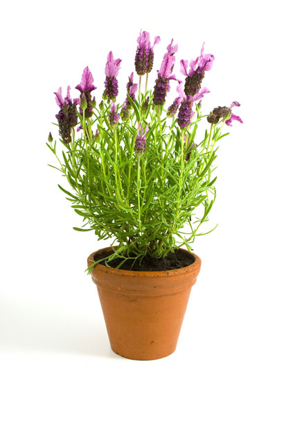 Lavender growing in container