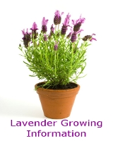 Information learn about the herb lavender - Growing lavender pot ...