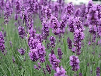 Closeup of Lavender flowers in garden