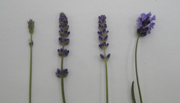 Lavender Flower Bloom Development stages closeup image