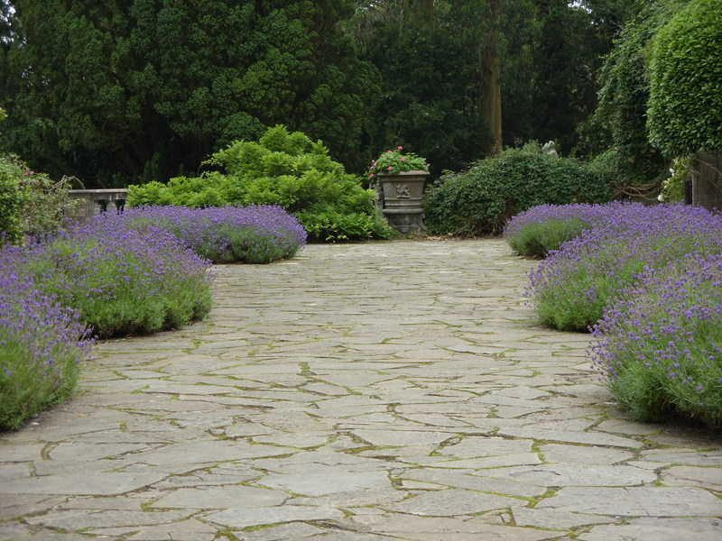 Image of stone walk edged with blooming lavender