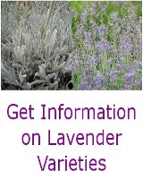 Information on Lavender Varieties
