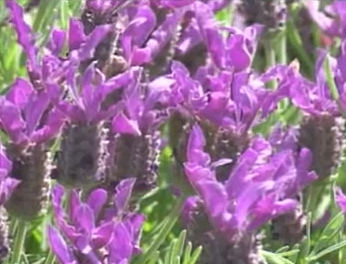 Lavender stoechas Madrid Purple Flower