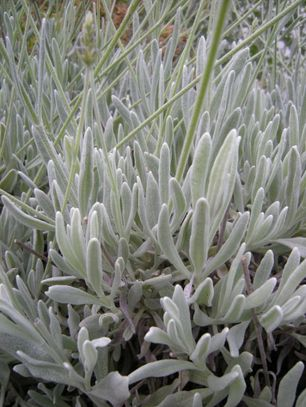 Closeup image of Woolly Lavender leaves