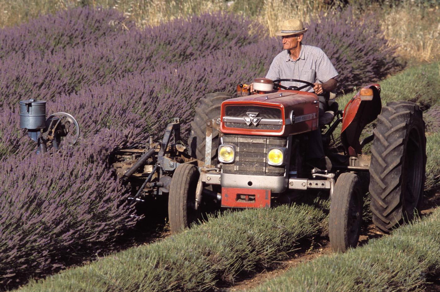 Harvesting Lavender Flower