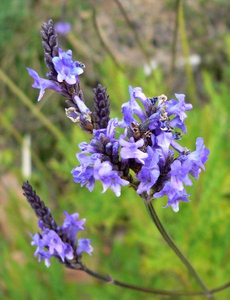 Lavandula Canariensis Canary Island Lavender
