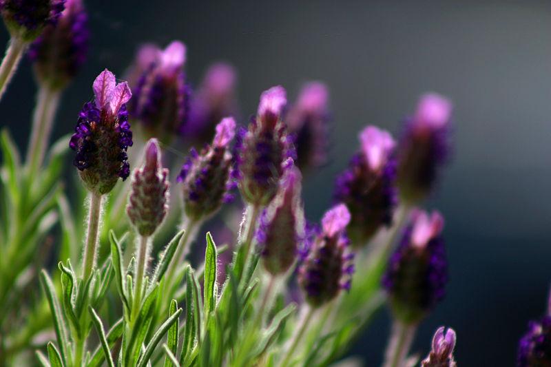 Spanish Lavender Flower