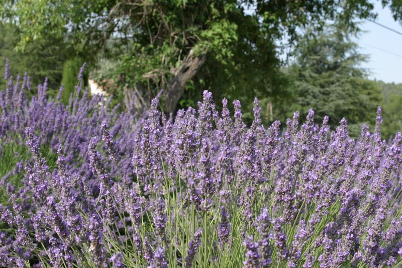 Lavandin Flower