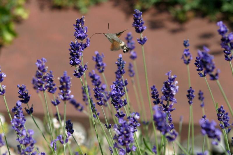 English Lavender Hidcote Flower