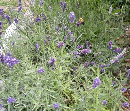 Lavandula Lavender