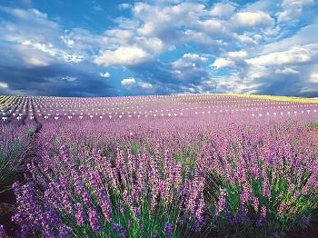 Lavender Fields Provence Lavender Flower Field