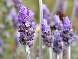 French Lavender Flower