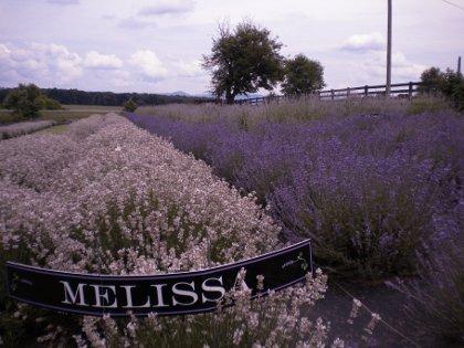 Pink Lavender Flowers